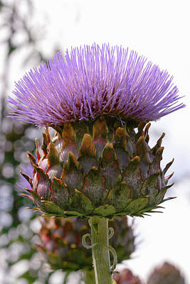 Cynara Photograph - Cardoon (cynara Cardunculus) by Dr Keith Wheeler