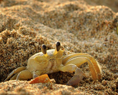 Photograph - Caribbean Crab by J R Baldini M Photog Cr