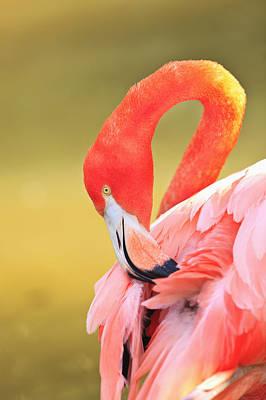 Caribbean Flamingo Phoenicopterus Rube Art Print by Stuart Westmorland