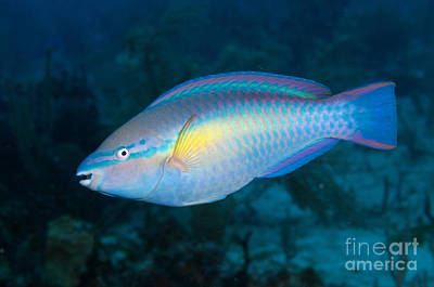 Door Locks And Handles - Caribbean Princess Parrotfish by Karen Doody