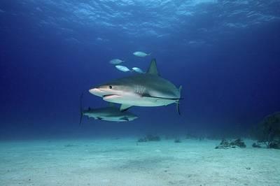 Undersea Photograph - Caribbean Reef Sharks by James R.D. Scott