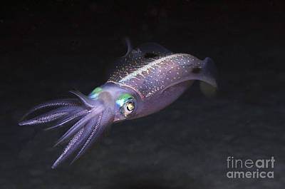 Iridescent Photograph - Caribbean Reef Squid At Night On Reef by Karen Doody