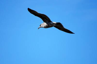 Photograph - Carmel Bird In Flight by Harvey Barrison