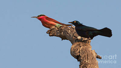 Photograph - Carmine Bee-eater And Greater Blue-eared Glossy Starling by Mareko Marciniak