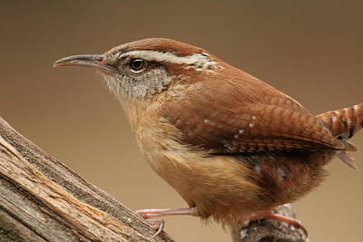 Art Print featuring the photograph Carolina Wren by Daniel Reed