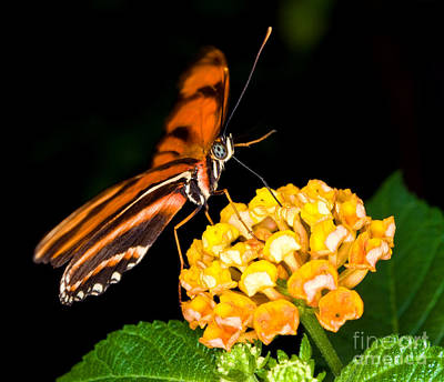Photograph - Caroni Flambeau Butterfly by Terry Elniski