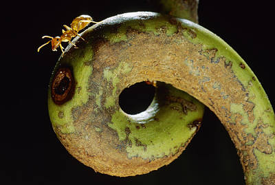 Photograph - Carpenter Ant Camponotus Schmtzi by Mark Moffett