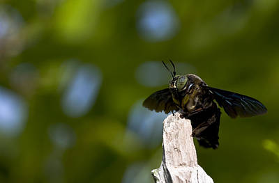 Bee Sting Photograph - Carpenter Bee by Zoe Ferrie