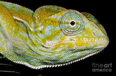 Photograph - Carpet Chameleon by Dante Fenolio