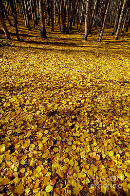 Carpet Of Aspen Leaves Art Print