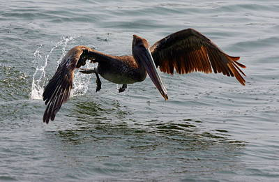 Photograph - Cartegena Pelican by Mike Reid