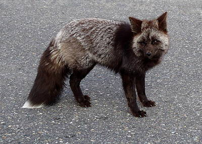 Photograph - Cascade Red Fox -silver by Peter Mooyman