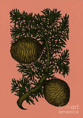 Cassia Photograph - Cassia Tree, Alchemy Plant by Photo Researchers