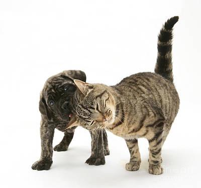 Cat And Mastiff Pup Print by Jane Burton