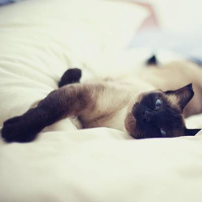 Lying Down Photograph - Cat Laying On White Bed by Bravo Les Filles