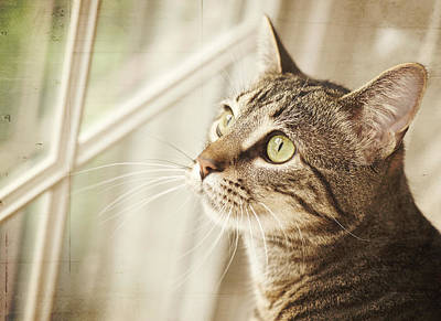 Cat Looking At Window Art Print by Jody Trappe Photography