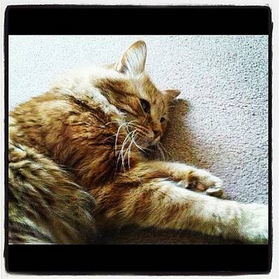 Oscars Photograph - #cat #pet #oscar #bigpaws #purrapy by Niki Taylor