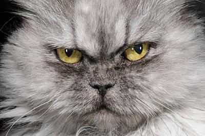 Longhair Cats Photograph - Cat Portrait by Nisian Hughes