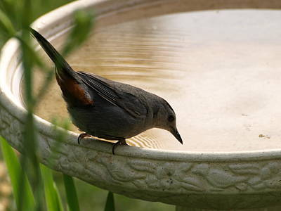 Photograph - Catbird Drink by Jeffrey Peterson
