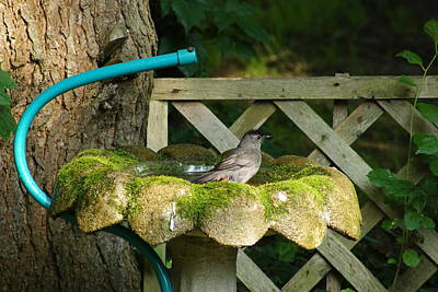 Photograph - Catbird Shower by Margie Avellino