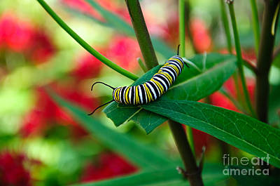 Photograph - Caterpillar Before The Butterfly 1 by Andee Design