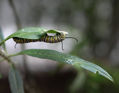 Photograph - Caterpillar Munching  by Joseph G Holland