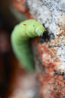 Photograph - Caterpillar  by Pan Orsatti