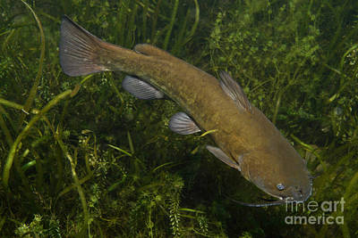 Bullheaded Photograph - Catfish Protecting Her Young by Ted Kinsman
