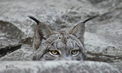 Canadian Lynx Photograph - Cats Eyes - Lynx by Bill Cannon