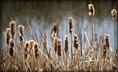 Cattails Going To Seed Art Print