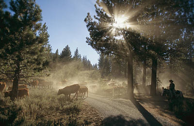 Cattle Cross A Gravel Road On A Fall Art Print