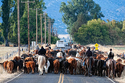 Photograph - Cattle Drive by Gary Rose