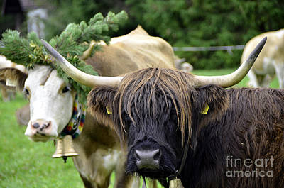 Traditionell Photograph - Cattle Drive In Alps by Elzbieta Fazel