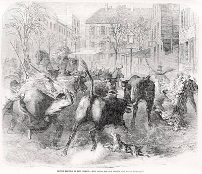 Cattle Drive Photograph - Cattle Driving In The Streets, Text by Everett