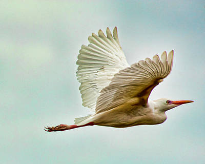 Photograph - Cattle Egret by Dan McManus