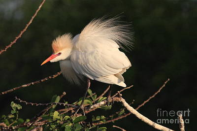 Cattle Egret Display Art Print by Jennifer Zelik