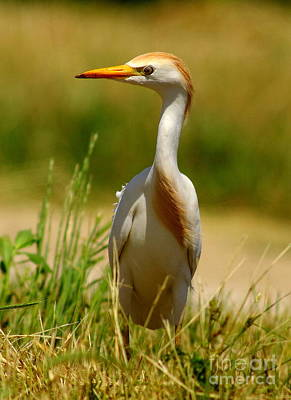 Cattle Egret With Closed Eyelid Art Print by Robert Frederick