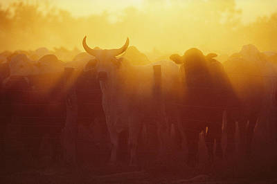 Cattle Gather At A Watering Hole Art Print