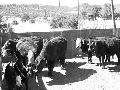 Photograph - Cattle In The Pen  by Pamela Walrath