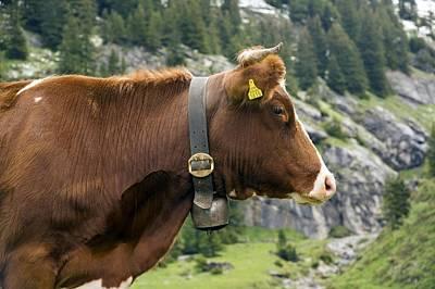 Wengen Photograph - Cattle, Switzerland by Bob Gibbons