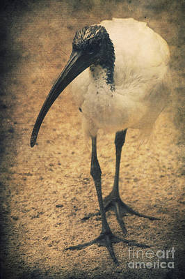 Ibis Mixed Media - Catwalk by Angela Doelling AD DESIGN Photo and PhotoArt