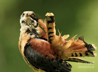 Caught In The Act  American Kestrel Pruning Art Print by Inspired Nature Photography Fine Art Photography