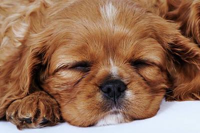 Cavalier King Charles Spaniel Puppy Sleeping In Studio, Close-up Art Print by Martin Harvey