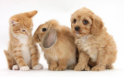Cavapoo Pup, Rabbit And Ginger Kitten Print by Mark Taylor