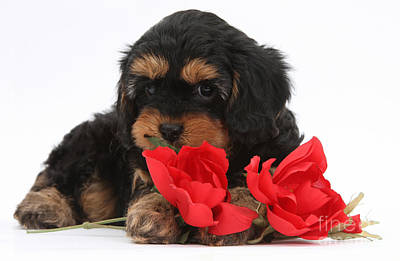 Photograph - Cavapoo Pup With Roses by Mark Taylor