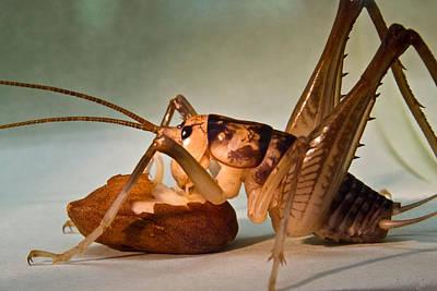 Cave Cricket Feeding On Almond 10 Art Print by Douglas Barnett