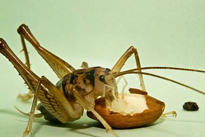 Cave Cricket Feeding On Almond 8 Art Print by Douglas Barnett