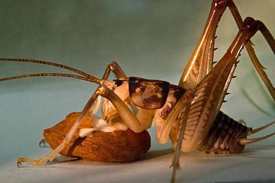 Cave Cricket Feeding On Almond 9 Print by Douglas Barnett
