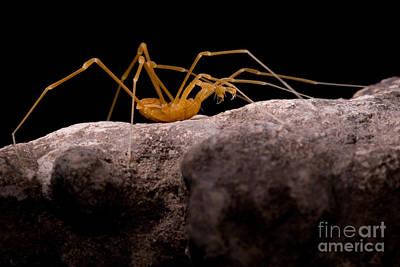 Harvestmen Photograph - Cave Harvestman by Dant� Fenolio