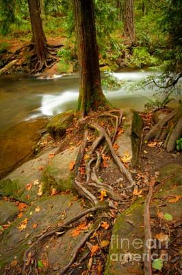 Photograph - Cedar Roots by Idaho Scenic Images Linda Lantzy
